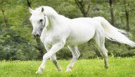 تفسير حلم الحصان الابيض في المنام لابن سيرين