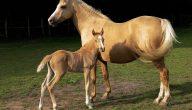 تفسير رؤية الحصان الأصفر في المنام لابن سيرين