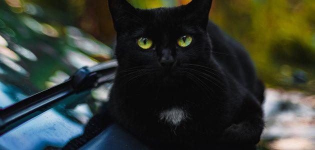 تفسير حلم القط الأسود في المنام لكبار المفسرين