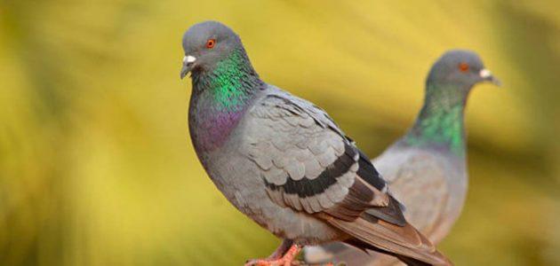 تفسير رؤية طيور الحمام في المنام لابن سيرين موقع البديل