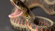 تفسير رؤية الثعابين الكثيرة في المنزل في المنام