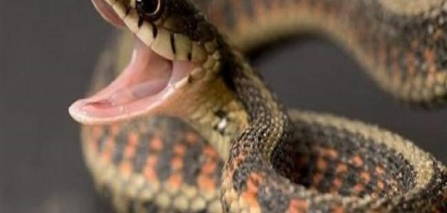 تفسير رؤية الثعابين الكثيرة في المنزل في المنام موقع البديل