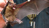 تفسير رؤية الخفاش في الحلم لكبار المفسرين