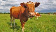 تفسير رؤية البقره في المنام للعزباء