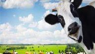 تفسير رؤية البقرة في المنام لابن شاهين