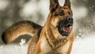 تفسير حلم هجوم الكلاب في المنام للفتاة العزباء